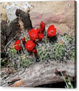 Claret Cup Cactus And Sandstone Acrylic Print