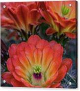 Claret Cup Cactus Flowers  Acrylic Print