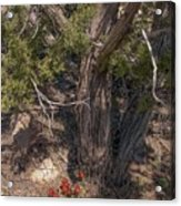 Claret Cup Cactus #2 Acrylic Print