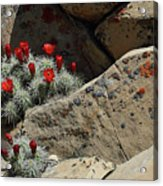 Claret Cup Cactus Nestled In Fractured Sandstone Acrylic Print