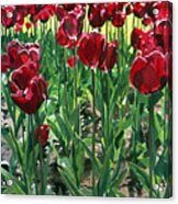 Claret Tulips  Acrylic Print