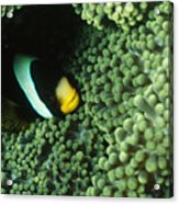 Clarks Anemonefish, Amphiprion Clarkii Acrylic Print by James Forte