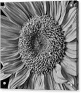 Classic Black And White Sunflower Acrylic Print