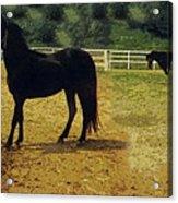 Classic Morgan Horses Acrylic Print