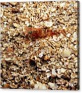 Cleaner Shrimp On Shell Covered Bottom Acrylic Print