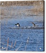 Cleared For Takeoff-ring-necked Ducks  Acrylic Print