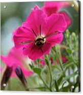 Clearwing Hummingbird Moth At Work In Patch Of Petunias Acrylic Print