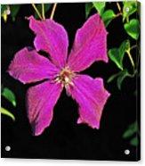 Clematis 2598 Acrylic Print