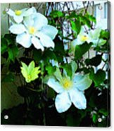 Clematis Again Acrylic Print