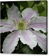 Clematis Blossom Acrylic Print