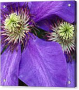 Clematis Detail Acrylic Print