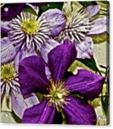 Purple Clematis Flower Vines Acrylic Print