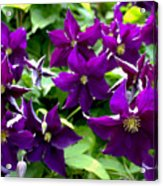 Clematis Flowers Acrylic Print by Corey Ford