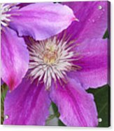 Clematis Flowers Acrylic Print