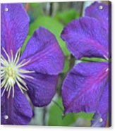 Clematis Friends Acrylic Print