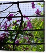 Clematis I Acrylic Print