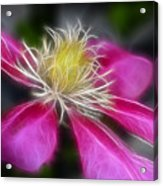 Clematis In Pink Acrylic Print