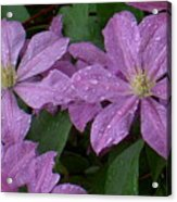 Clematis In The Rain Acrylic Print