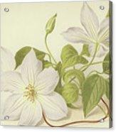 Clematis Jackmanni Alba Acrylic Print
