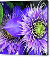 Clematis Multi Blue Acrylic Print