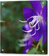 Clematis On The Side Acrylic Print