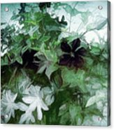 Clematis On The Vine Acrylic Print