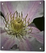Clematis Study 1 Acrylic Print