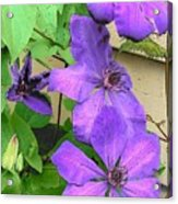 Clematis Trail Acrylic Print