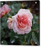 Climber Romantica Tea Rose, Digital Art Acrylic Print