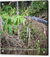 Climbing Gator Acrylic Print