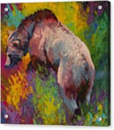 Climbing The Bank - Grizzly Bear Acrylic Print