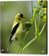 Clinging Goldfinch Acrylic Print