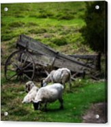 Clint's Sheep  Acrylic Print