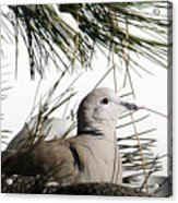 Close Up African Collared Dove Acrylic Print