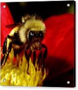 Close Up Bee Acrylic Print
