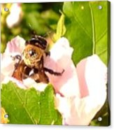 Close Up Bumble Bee Climbing Out Of Hibiscus Flower Acrylic Print