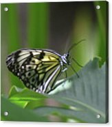 Close Up Look At A Paper Kite Butterfly On Foliage Acrylic Print