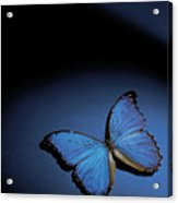 Close-up Of A Blue Butterfly Acrylic Print