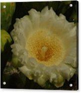 Close Up Of A Cactus Bloom. Acrylic Print