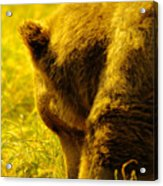 Close Up Of A Grizzily Acrylic Print