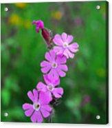 Close Up Of A Least Primrose Flower Acrylic Print