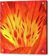 Close-up Of A Peruvian Lily Acrylic Print