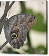 Close Up Of A Pretty Brown Morpho Butterfly  Acrylic Print