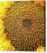 Close Up Of A Sunflower Head Acrylic Print