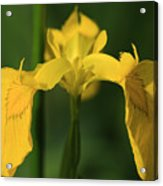 Close Up Of A Yellow Bearded Iris Acrylic Print