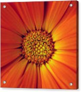 Close Up Of An Orange Daisy Acrylic Print