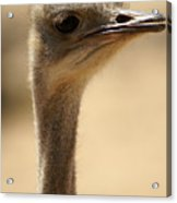 Close Up Of An Ostrich Acrylic Print