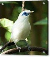 Close-up Of Bali Myna Bird In Trees Acrylic Print