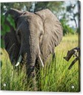 Close-up Of Elephant Behind Bush Facing Camera Acrylic Print