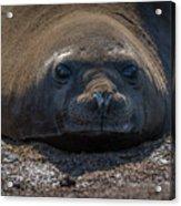 Close-up Of Elephant Seal Looking At Camera Acrylic Print